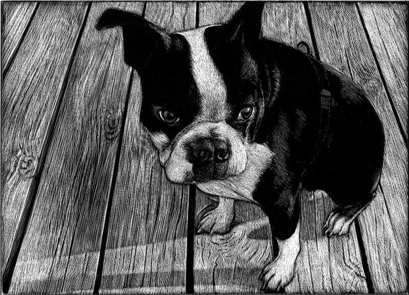 Charlie Boston Terrier WIP 3