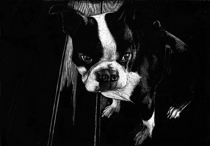 Charly the Boston terrier